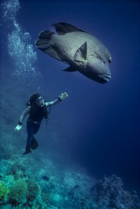 Diver and Giant Napolean Wrasse